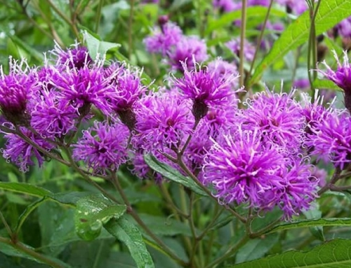 Using Ironweed as a Natural Dye