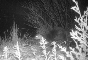 Giant River Otters visit regularly. They are hilarious!